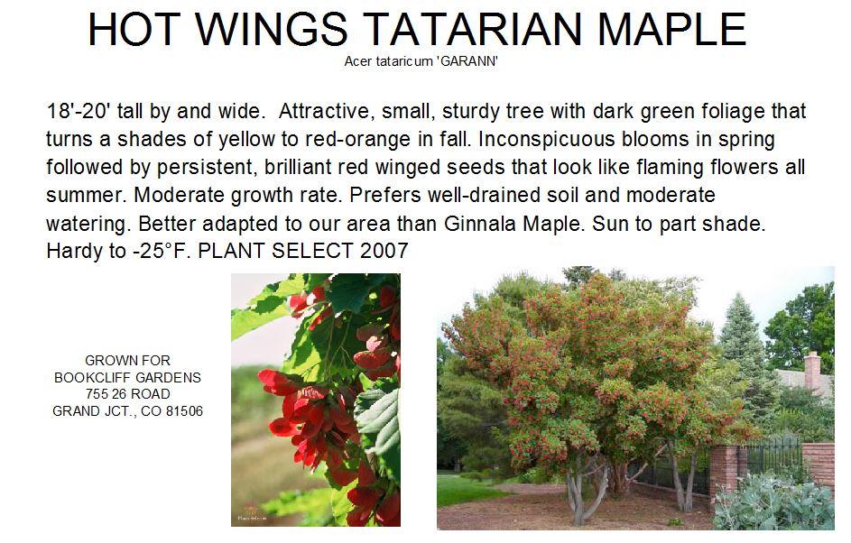 Maple Hot Wings Tatarian Clump